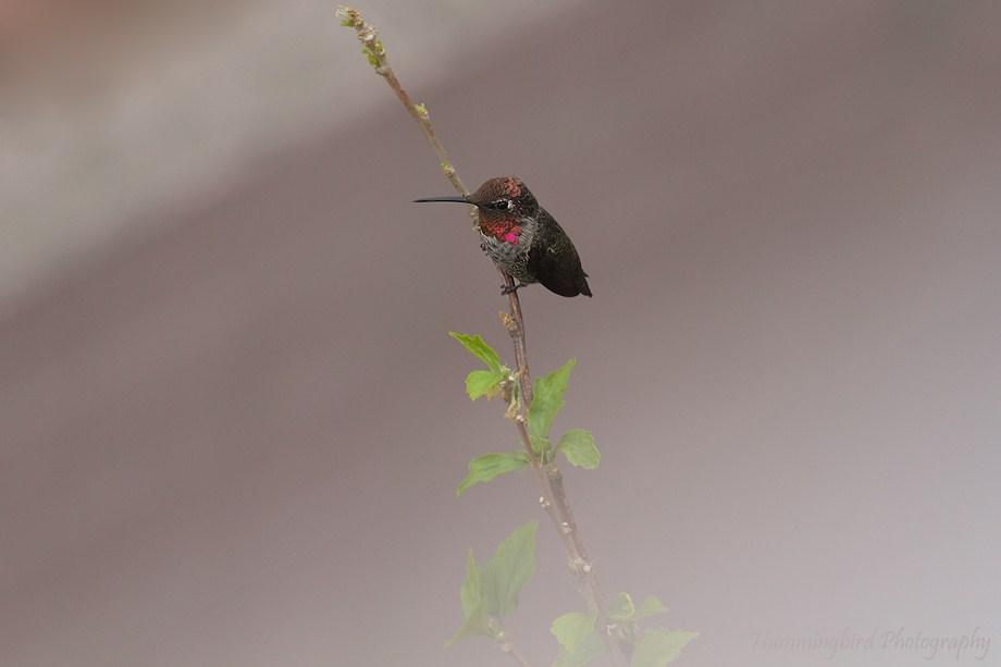 Anna's Hummingbird 081411