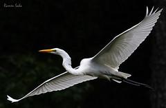 Wings of my Childhood (Explored) (Ramen Saha) Tags: wings greategret greatwhiteegret ardeaalba ramensaha