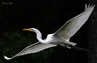 Great Egret; Wings of my Childhood (Explored)