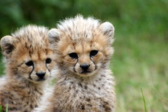 Double trouble (Moo-lissa) Tags: animals cat zoo cheetah cubs mammals bigcats carnivores chesterzoo cubscats