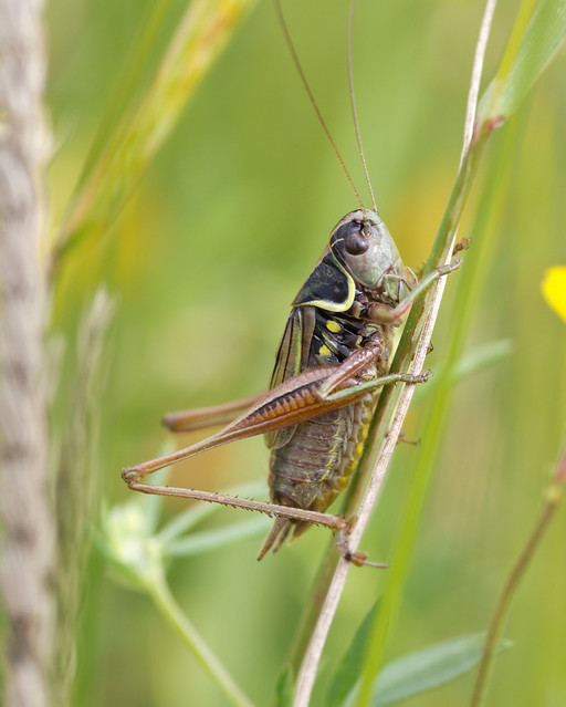 Rosels bush crickets