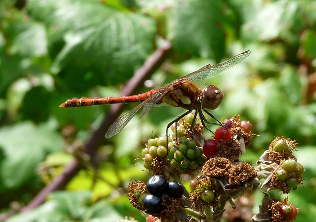 24809 - Male Common Darter, Llanelli WWT