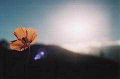 Orange flower (hands like stars) Tags: flower slr lens colorado glare minolta 101 flare srt