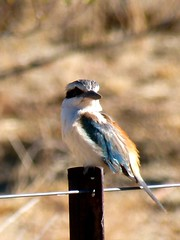 Kingfisher on star picket at Ilparpa (cleardrops) Tags: kingfisher kestrel nankeen redbacked ilparpa