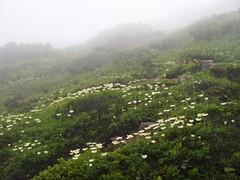 遅咲きのチングルマ