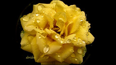 This sums up today's Weather (abrideu away on Holiday) Tags: roses macro yellow canon widescreen raindrops 16x9 breedbeeld raynoxdcr250 16x9widescreen virtualjourney abrideu