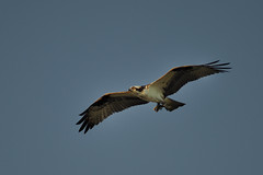Osprey DSC_7495 by Mully410 * Images