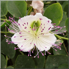 Capparis spinosa (mcgin's dad) Tags: flower mallorca capparis canondigitalixus70 blinkagain bestofblinkwinners