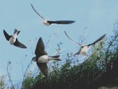 Uferschwalben, NGID947979846 (naturgucker.de) Tags: deutschland mecklenburgvorpommern ripariariparia rgen uferschwalbe naturguckerde carmindreisbach ngid947979846