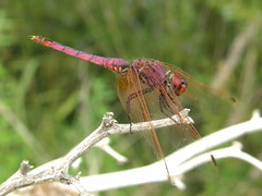 Red Dragonfly (Annie in Beziers) Tags: france macro insect wings dragonfly explore gossamer quarry annieinbziers