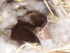sleeping in a cloud (ixchelbunny) Tags: rabbit bunny bunnies angora ixchel ixchelbunny