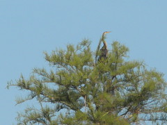 "anhinga in tree • <a style=""font-size:0.8em;"" href=""http://www.flickr.com/photos/63845265@N04/6090015253/"" target=""_blank"">View on Flickr</a>"