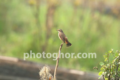 www.photoghor.com (bangladeshi Birds) Tags: world wild plants brown tree nature birds animals forest asian outdoors flying chats wings natural wildlife south small seasonal beak environmental nobody telephoto solitary winters feathered bangladeshi bluethroat photoghor nightfloraandfauna