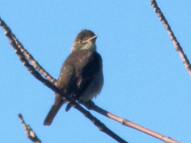 Olive-sided Flycatcher 2-20110829