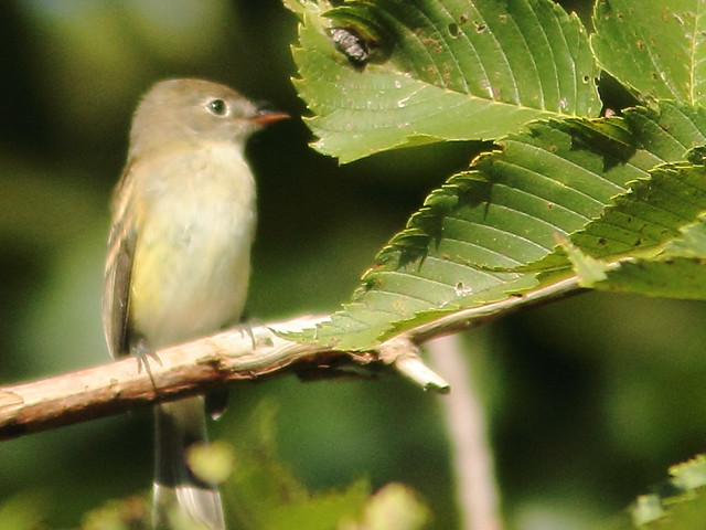 Least Flycatcher 2-20110829