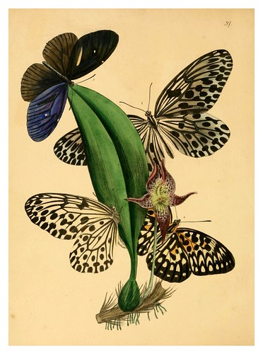016-The cabinet of oriental entomology…1848- John Obadiah Westwood