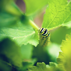Food! (CortneyR-) Tags: macro green leaves butterfly garden eating caterpillar parsnips larva endofsummer sigma105mm