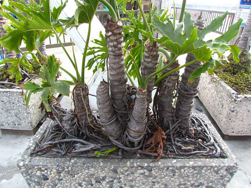 Rootbound, container-dwarfed Philodendron selloum