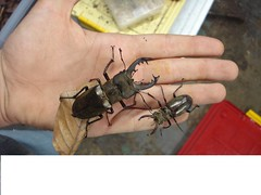 Lucanus maculifemoratus maculifemoratus (Odontolabis) Tags: bug insect beetle insekt kfer stagbeetle coleoptera insecta lucanidae hirschkfer lucanus scarabaeoidea maculifemoratus