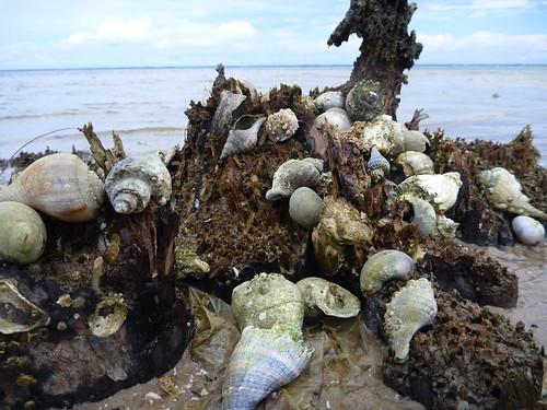 Predatory snails on Sugar Hill Beach at St. George Island State Park