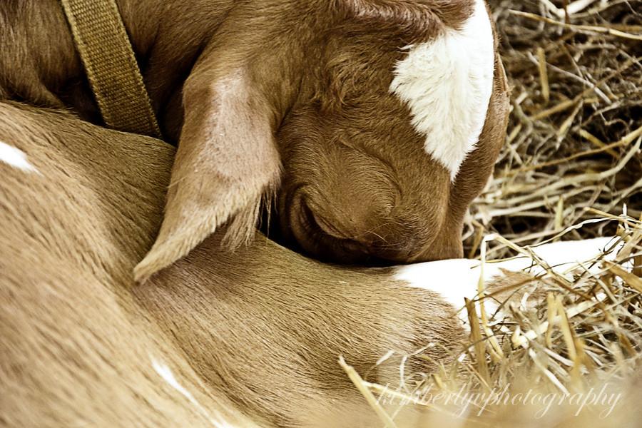 Farm show calf