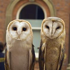 Barn Owl (Tyto alba) (Charliebubbles) Tags: canon eos staffordshire barnowl newcastleunderlyme tytoalba 400d canoneos400d britishbarnowl europeanbarnowl majesticowls