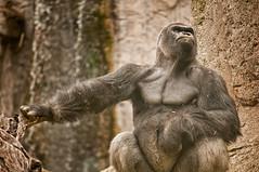 Zoo Madrid (antes debeo777) Tags: madrid espaa zoo nikon sigma animales gorila simio 501