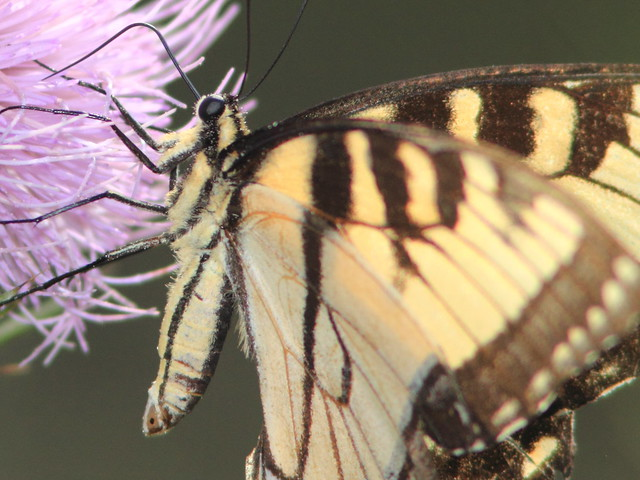 Tiger Swallowtail detail 20110903