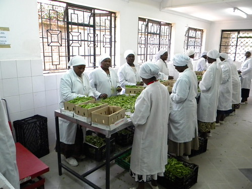 Employees at Hillside Green work in the pack house certifying fresh vegetables for export. Photo credit: Ayub Otieno