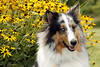 """""""I carry you with me into the world into the smell of rain & the words that dance between people & for me, it will always be this way walking in the light, remembering being alive together."""" (*Martu*) Tags: flowers portrait dog fall animal yellow sheltie storypeople bennyjr"""