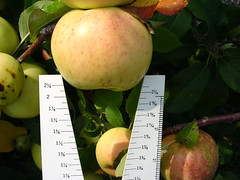 P.2 Apple Measure