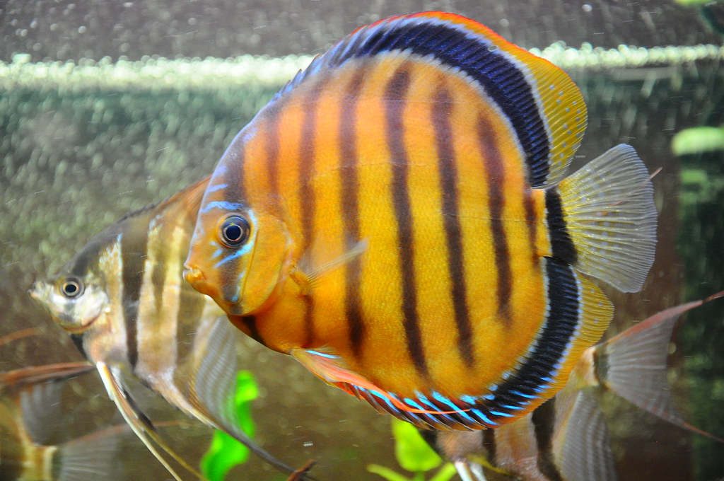 The world 39 s best photos of discus and wild flickr hive mind for Fish s wild