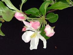 M.27 EMLA Flower Cluster