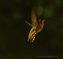 Hummer V (TheShootersView) Tags: west birds creek dove humingbirds canon7d tankersleytexas