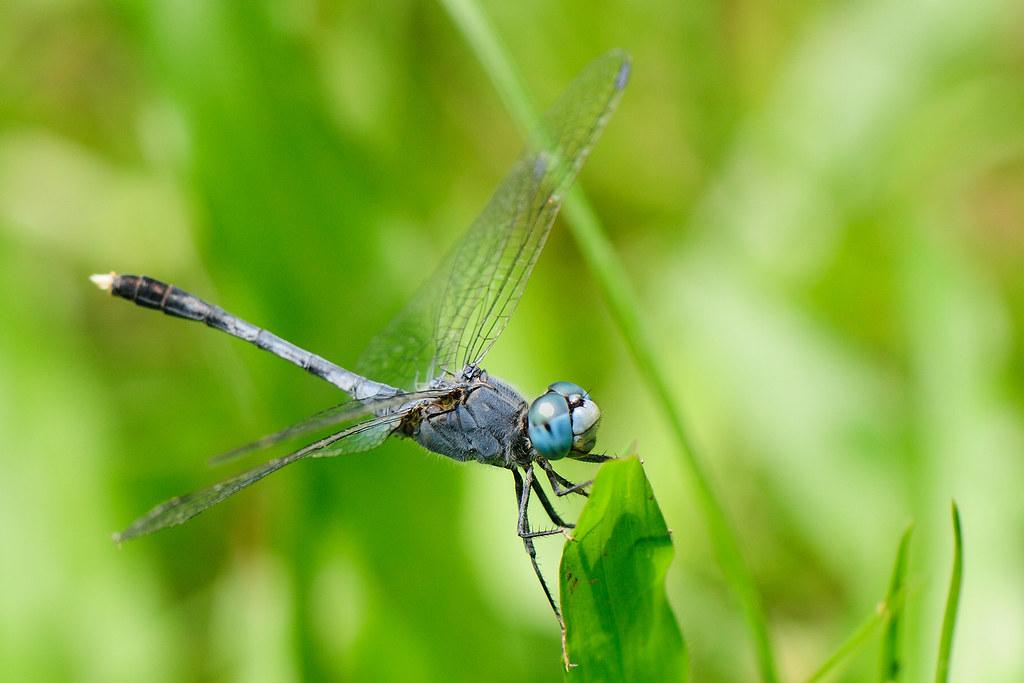 呂宋蜻蜓  Orthetrum luzonicum