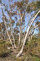 COP Eucalyptus fasciculosa aa (COPbiodiversity) Tags: billdoyle cop cityofplayford playford city council south australia australian sa local locally native localnative plant species vegetation indigenous para wirra parawirra recreationpark recreation conservation park denr eucalyptus fasciculosa pink gum eucalyptusfasciculosa pinkgum tree specphoto localnativesimset