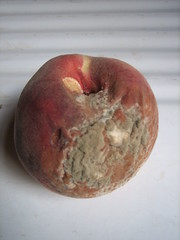 goodbye fruit (Ladybadtiming) Tags: white rot fruit decay peach velvet rotten mould luscious gonebad mouldy