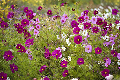 Autumnal Glow (Jacky Parker Floral Art) Tags: uk pink flowers white nature horizontal garden landscape colorful vibrant border colourful orientation cosmos cerise sonata annuals bight herbaceous floralessence florablooms
