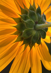 Sunflower orange (JoelDeluxe) Tags: newmexico vegetables yard garden front sunflowers nm joeldeluxe latesummer southvalley