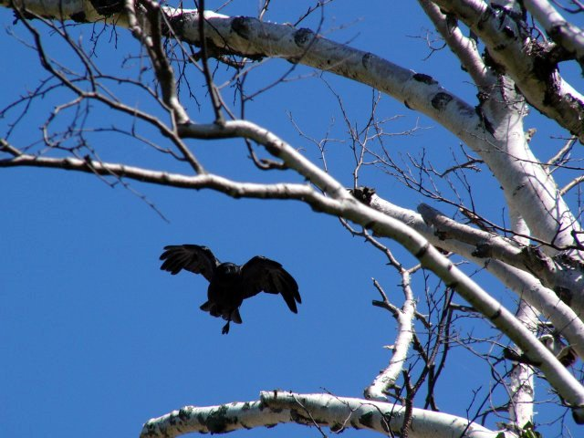 070716_crow_in_flight