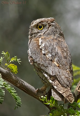 European Scops Owl      () Tags: bird birds european bin owl sultan qatar  birdwatchers    scops