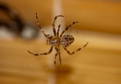 Kitchen Spider (spliceruk) Tags: spider spidersweb spiderinweb