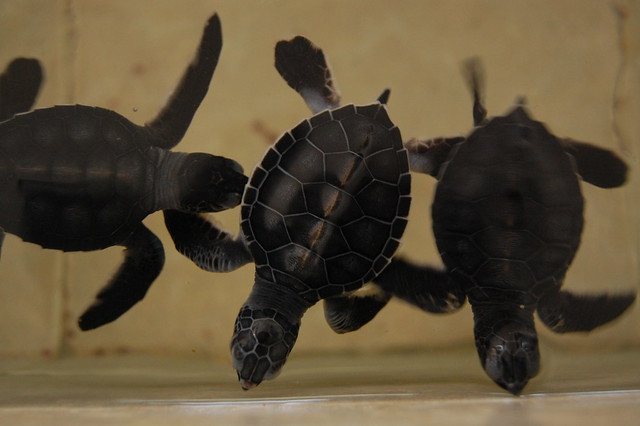 cancun_isla_mu_baby_turtles