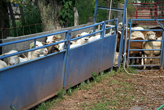 Sheep in handling system