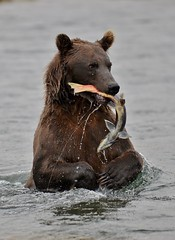Nom, Nom, Nom (t i g) Tags: bear alaska fishing salmon flyfishing arl photo365 photo365kindel
