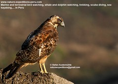 Variable hawk Birding Peru (1) (Nature Expeditions 06) Tags: trip vacation bird peru nature birds holidays tour lima hawk birding stefan andes trips prey guide birdsofprey lomas variable peruvian buteo expeditions accipitridae redbacked redbackedhawk buteopolyosoma birdguide lachay lomasdelachay polyosoma variablehawk natureexpeditions birdinginperu austermhle birdingperu birdinginlima