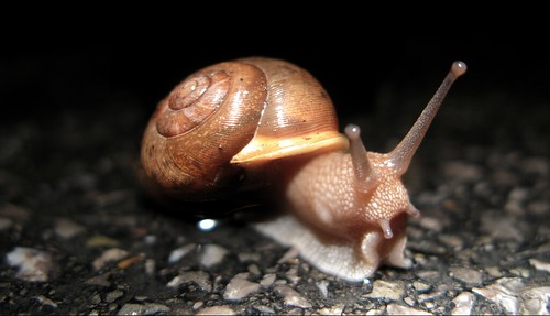 Snail in the road by DaveHuth, on Flickr