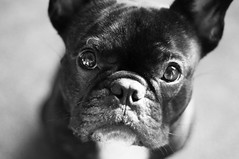 Hipnotize (Lainey1) Tags: bw dog face closeup eyes nikon head bulldog mug frenchie frenchbulldog bully ozzy muzzle d90 hipnotize nikond90
