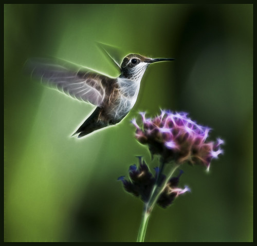 Fractalius - hummer at vervain by Jen St. Louis