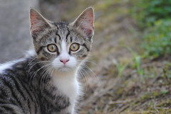 C.U.T.E. (@RunRockPrincess) Tags: 6 white 3 macro cute cat one 1 three amazing interesting furry nikon focus kitten flickr bokeh 5 five ears august whiskers explore meow 365 six 2011 threesixfive fantasticnature d3000 nikond3000 meglynn